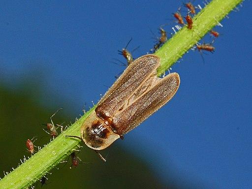 Lampyridae - Lampyris noctiluca