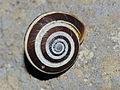 Land Snail (Cernuella virgata ?) (14343566542).jpg