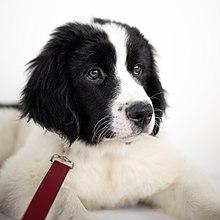 Landseer (dog) - Wikipedia