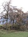 Larches near the Newton Burn - geograph.org.uk - 361659.jpg