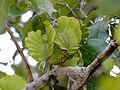 Large-fruited Bushwillow (Combretum zeyheri) fruits (12908109715).jpg