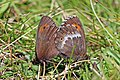 Large ringlet (Erebia euryale) mating female right Bulgaria.jpg