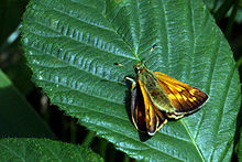 Large skipper butterfly (Ochlodes sylvanus) female.jpg