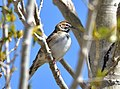 Lark sparrow on Seedskadee National Wildlife Refuge (34852701105).jpg