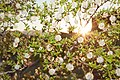 Larrea tridentata, Red Hills Desert Garden, St. George, UT, USA.jpg