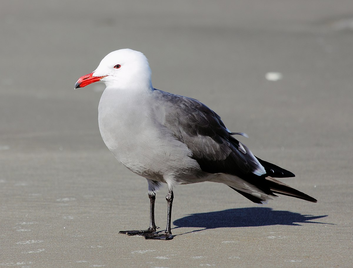 Heermann's gull - Wikipedia