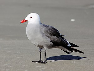 Heermann's gull - Adult breeding