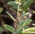 Lathrecista asiatica, Taman Sari, Yogyakarta, 2014-05-07 01.jpg