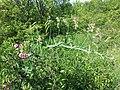 Lathyrus latifolius sl10.jpg