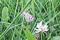 Latticed heath (Hav) (7978960212).jpg