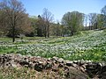 Laurel Ridge Foundation Narcissus Plantings - IMG 6446.JPG