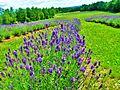 Lavenders at Domaine Bleu Lavande - panoramio.jpg