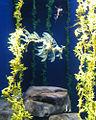 Leafy Sea Dragon (480896781).jpg
