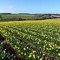 Lelant daffodils. - panoramio.jpg