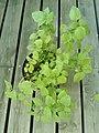 Lemon balm plant in a pot 12.jpg