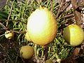 Lemon citrus limonium.jpg