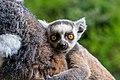 Lemur (36476851121).jpg