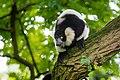 Lemur (36499917033).jpg