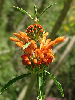 Leonotis Leonurus Photos