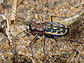 Leopard Tiger beetle (Lophyra histrio) (12072281006).jpg