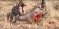 Leopard eats alive Warthog ✰Amaizing Video HD 3.png