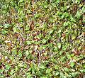 Lepidium sativum vdg.jpg