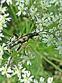 Leptura maculata (Cerambycidae sp.), Hatertse Vennen, the Netherlands - 3.jpg