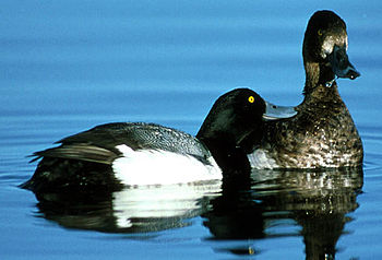 English: Lesser scaup pair from USFWS Source: ...