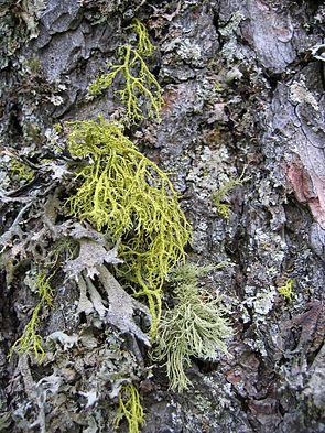 Wolfsflechte (Letharia vulpina) (gelb)