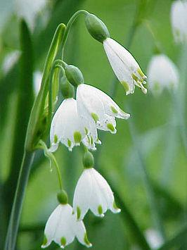 narcisfamilien iris
