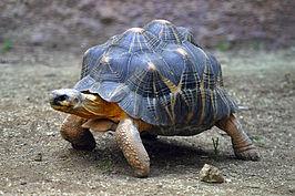 Landschildpad uit het geslacht Geochelone