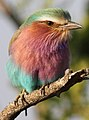 Lilac-breasted Roller, Coracias caudatus at at Mapungubwe National Park, Limpopo, South Africa (17845616689).jpg