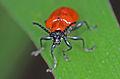 Lilioceris lilii 8435a.jpg