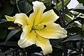 Lilium Conca dOr 8zz.jpg