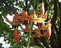 Lilium canadense var. coccineum.JPG
