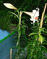 Lilium wenshanense.jpg