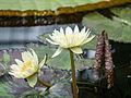 Lilly flowers (14763089259).jpg