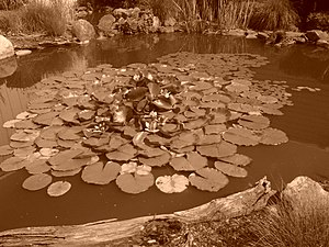 Harold H. Malkmes Wildlife Education and Ecology Center - Lily Pads and Lotus Flowers at the Ecology Center.