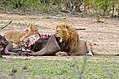 Lion (Panthera leo) and cub eating some buffalo meat ... (33299552996).jpg