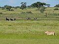 Lioness (Panthera leo) (6871765268).jpg