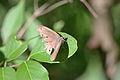 Little Wood Satyr (Megisto cymela) (14654397336).jpg