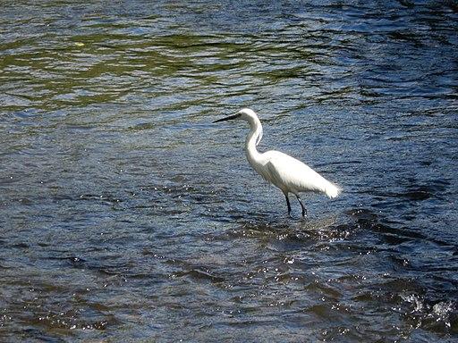 Little egret on River Wey at Moor Park 5
