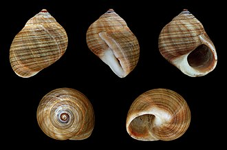 Common periwinkle - Shell of the common periwinkle