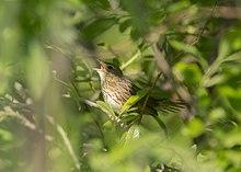 Locustella lanceolata 71284996.jpg