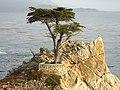 Lone Cypress - panoramio.jpg