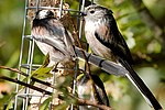 Long-Tailed Tits - Summer Leys (37499596160).jpg
