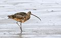 Long-billed curlew, Numenius americanus, Moss Landing (Elkhorn Slough and beach), California, USA. (22775280298).jpg
