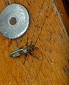 Longhorn Beetle (Cerambycidae) (11710458806).jpg
