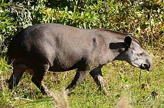 South American tapir species of mammal