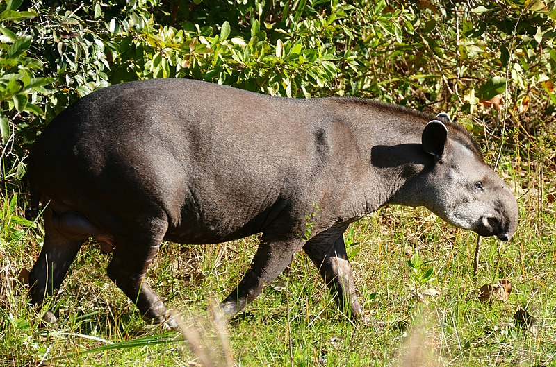 Lowland Tapir (Tapirus terrestris) male (27546923604).jpg